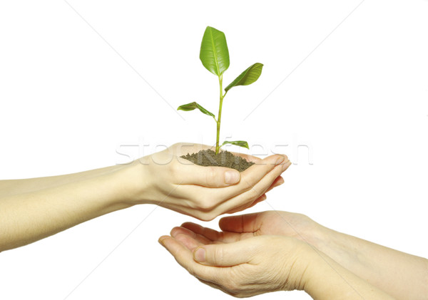 sapling  Stock photo © Pakhnyushchyy