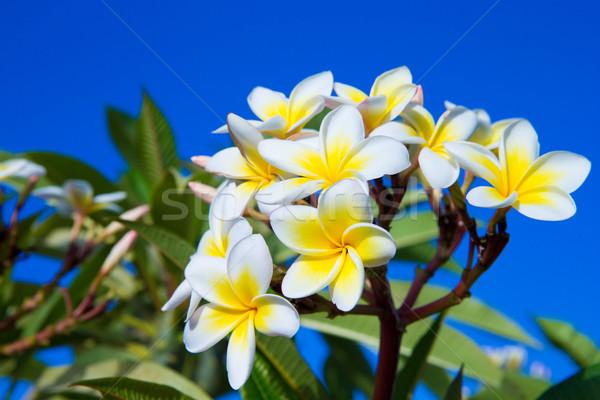 plumeria flowers  Stock photo © Pakhnyushchyy