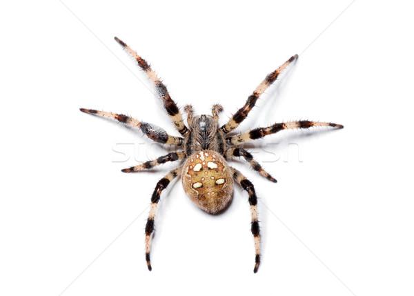 spider  Stock photo © Pakhnyushchyy