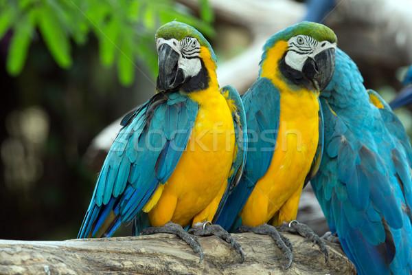 Papagájok pár színes csók madár szárnyak Stock fotó © Pakhnyushchyy