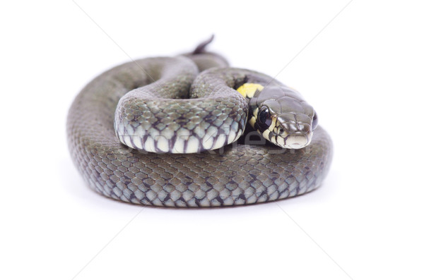 snake  Stock photo © Pakhnyushchyy