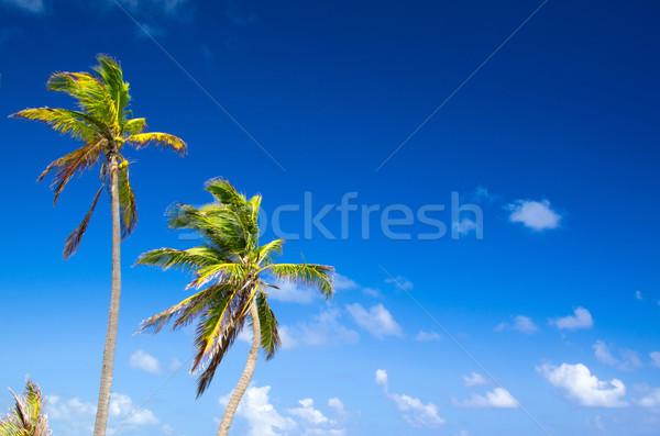 ヤシの木 空 森林 風景 夏 スペース ストックフォト © Pakhnyushchyy