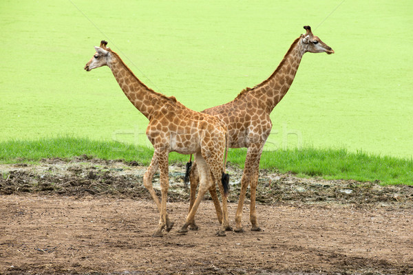 giraffes  Stock photo © Pakhnyushchyy