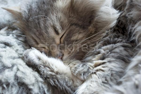 ストックフォト: 寝 · 猫 · 計画 · ペット