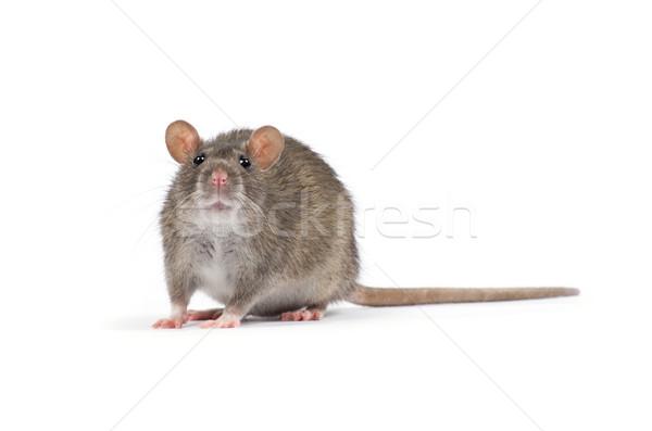 Rat geïsoleerd witte neus huisdieren bont Stockfoto © Pakhnyushchyy