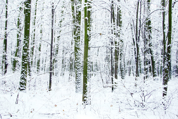 winter forest Stock photo © Pakhnyushchyy