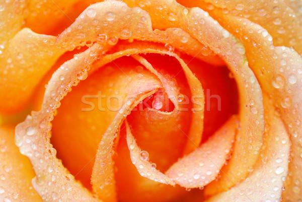 rose Stock fotó © Pakhnyushchyy