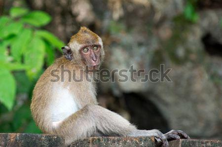 monkey  Stock photo © Pakhnyushchyy