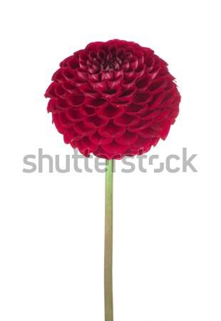 Czerwony dalia kwiat biały charakter lata Zdjęcia stock © Pakhnyushchyy