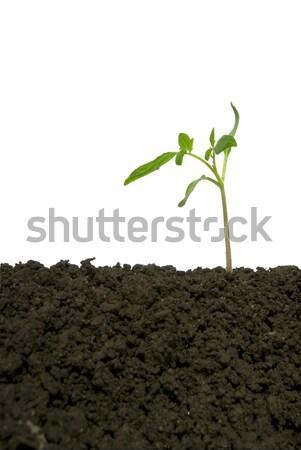 új élet kicsi zöld növény fehér élet Stock fotó © Pakhnyushchyy