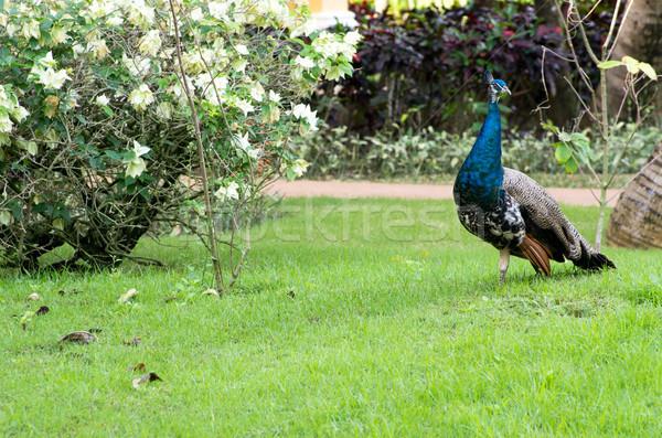 Pauw groene achtergrond dansen vogel patroon Stockfoto © Pakhnyushchyy