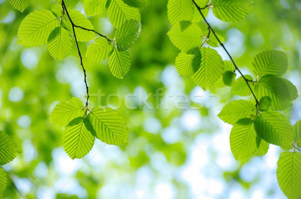 green leaves  Stock photo © Pakhnyushchyy