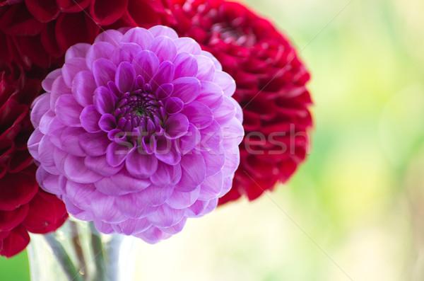Dalia rosa giardino natura rosso testa Foto d'archivio © Pakhnyushchyy