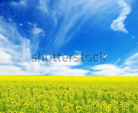 Girassol campo nublado blue sky flor fazenda Foto stock © Pakhnyushchyy