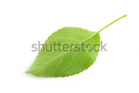 Hoja verde aislado blanco árbol naturaleza Foto stock © Pakhnyushchyy