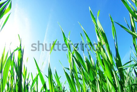 green lawn  Stock photo © Pakhnyushchyy