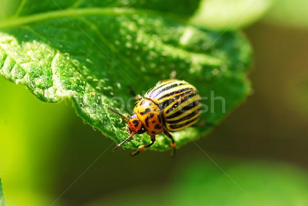 Colorado beetle Stock photo © Pakhnyushchyy