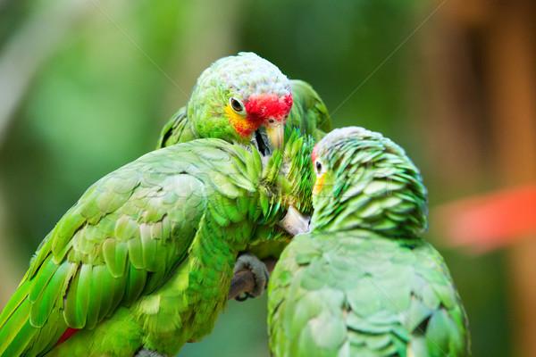 Foto stock: Papagaio · pássaro · sessão · natureza · casal · fundo