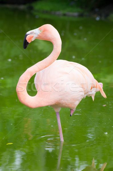 Flamingó kép négy természet fekete trópusi Stock fotó © Pakhnyushchyy