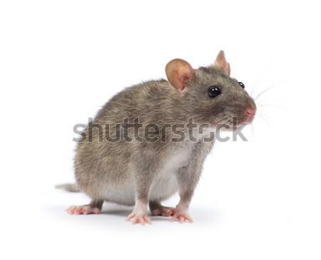 Rata aislado blanco nariz mascotas piel Foto stock © Pakhnyushchyy