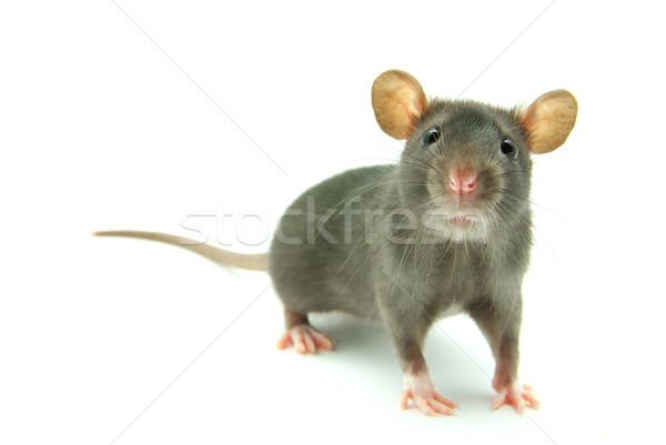 Stok fotoğraf: Sıçan · komik · yalıtılmış · beyaz · burun · Evcil
