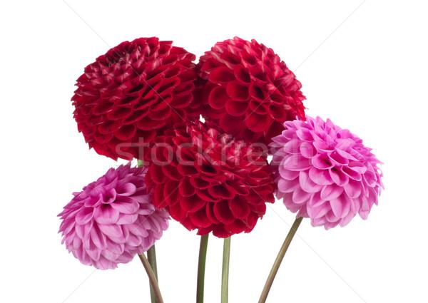 Dahlia bloem Rood witte natuur zomer Stockfoto © Pakhnyushchyy