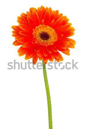 orange gerbera  Stock photo © Pakhnyushchyy