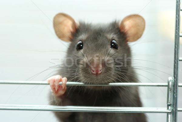 Rato engraçado preto branco nariz animais de estimação Foto stock © Pakhnyushchyy