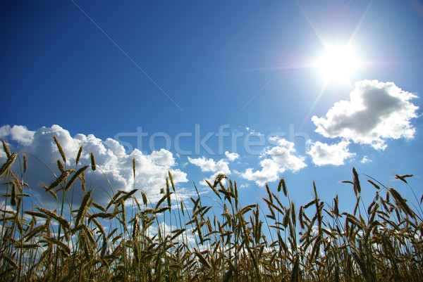 wheats spike Stock photo © Pakhnyushchyy