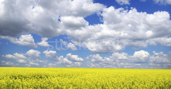 rape field Stock photo © Pakhnyushchyy