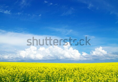 Giallo campo fiorire cielo primavera montagna Foto d'archivio © Pakhnyushchyy