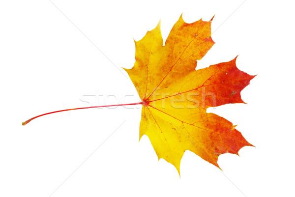 autumn maple leaf Stock photo © Pakhnyushchyy