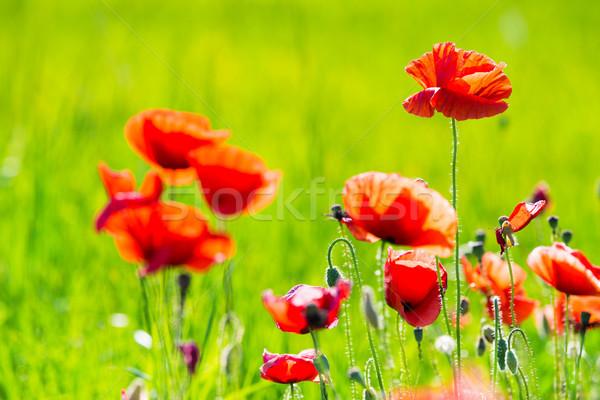 Poppy Flowers Stock photo © Pakhnyushchyy