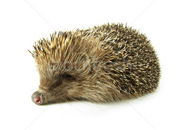 hedgehog  Stock photo © Pakhnyushchyy