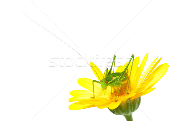 Sauterelle macro coup blanche oeil tête Photo stock © Pakhnyushchyy
