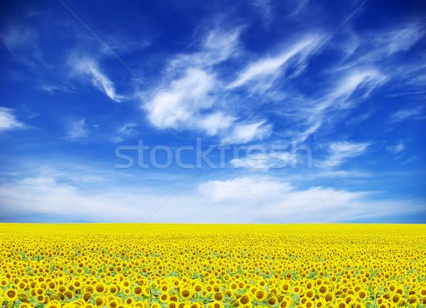 ヒマワリ フィールド 曇った 青空 花 ファーム ストックフォト © Pakhnyushchyy
