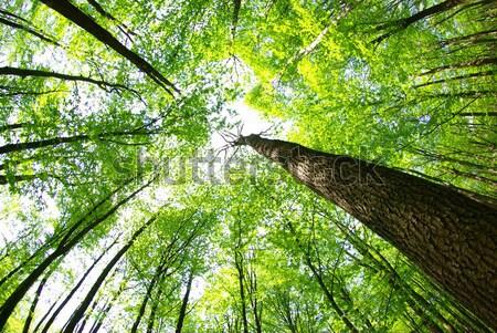 Zielone lasu wcześnie rano słońce piękna roślin Zdjęcia stock © Pakhnyushchyy