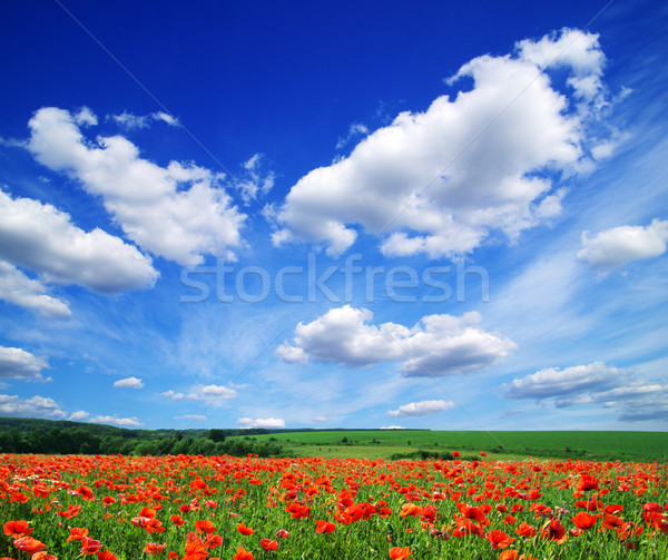 poppy flowers Stock photo © Pakhnyushchyy