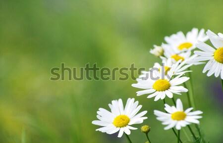 Zielona trawa kwiat tle lata zielone Daisy Zdjęcia stock © Pakhnyushchyy
