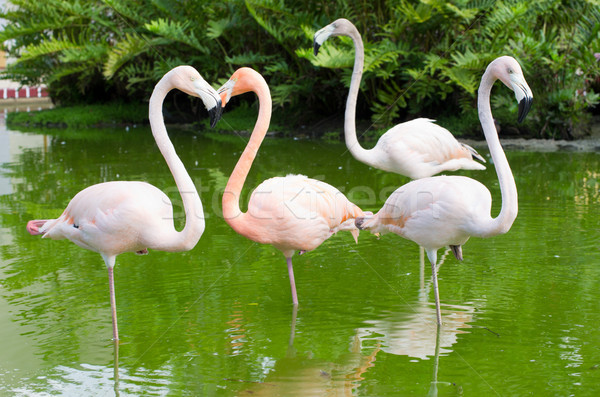 flamingos in the water Stock photo © Pakhnyushchyy