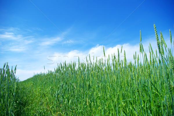 Prato presto estate mais cielo blu erba Foto d'archivio © Pakhnyushchyy
