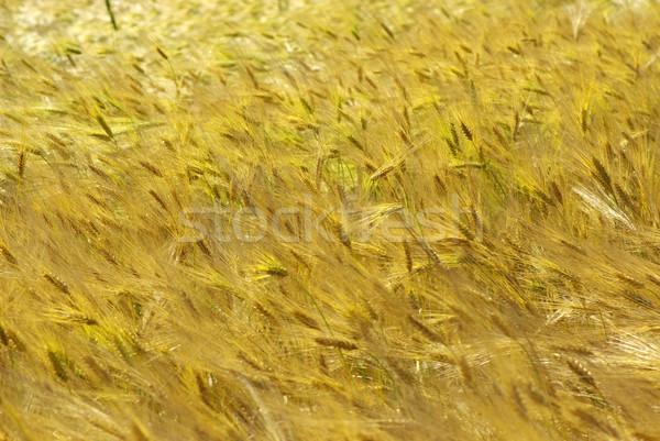 小麦 黄色 穀物 準備 収穫 ストックフォト © Pakhnyushchyy