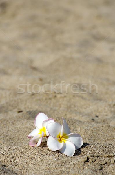 flowers Plumeria alba  Stock photo © Pakhnyushchyy