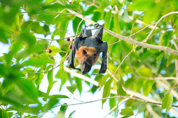Bat  Stock photo © Pakhnyushchyy