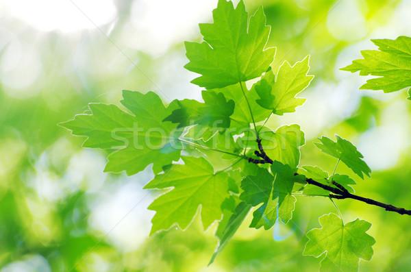 spring green leaves Stock photo © Pakhnyushchyy