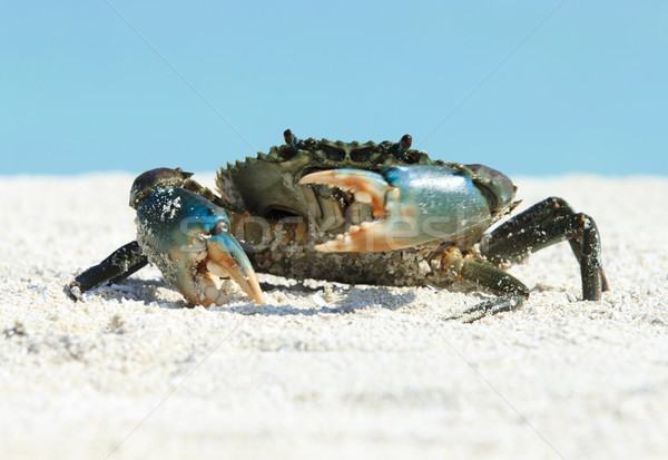 crab on beach Stock photo © Pakhnyushchyy