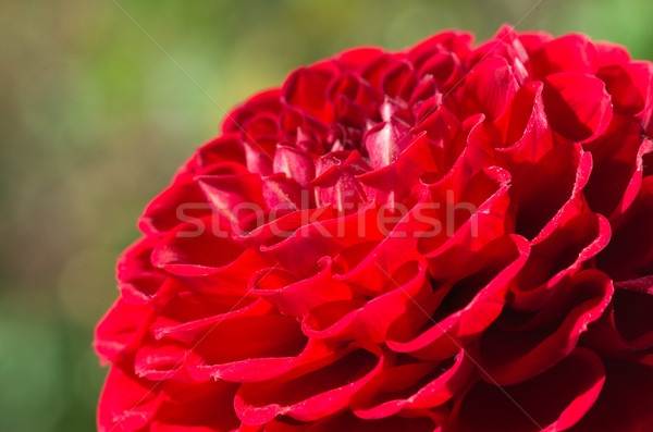 Dalia fiore rosso verde natura estate Foto d'archivio © Pakhnyushchyy