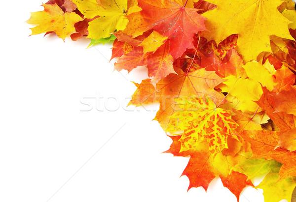 осень клен изолированный белый дерево лес Сток-фото © Pakhnyushchyy