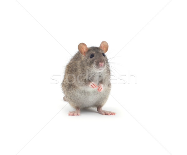 Ratto isolato bianco naso animali pelliccia Foto d'archivio © Pakhnyushchyy