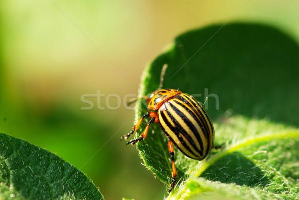 コロラド州 カブトムシ ジャガイモ 葉 庭園 ファーム ストックフォト © Pakhnyushchyy